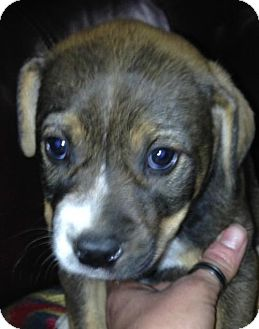 American Bulldog/Labrador Retriever Mix Puppy for adoption in Boston, Massachusetts - Mikey