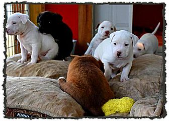 American Pit Bull Terrier/Shepherd (Unknown Type) Mix Puppy for adoption in Johnson City, Texas - Jade Puppies