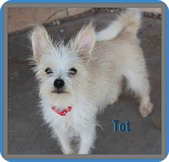 Cairn Terrier/Chihuahua Mix Dog for adoption in Phoenix, Arizona - Tot