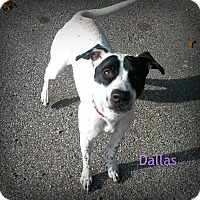 Spaniel (Unknown Type)/Pit Bull Terrier Mix Dog for adoption in Muskegon, Michigan - Dallas