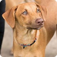 Adopt A Pet :: Tanner - boston, MA
