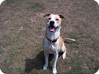 Labrador Retriever Mix Dog for adoption in Tampa, Florida - Bruce