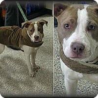 Adopt A Pet :: Lola - Laingsburg, MI