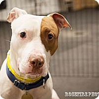 Adopt A Pet :: Buddy - Grafton, MA