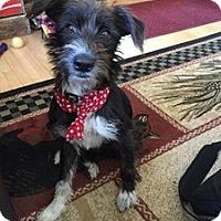 Adopt A Pet :: Tina Fey-MEET HER! - Norwalk, CT