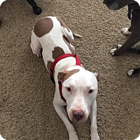 American Pit Bull Terrier Dog for adoption in Dallas, Texas - zzTubbie