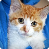 Adopt A Pet :: Harvey - Xenia, OH