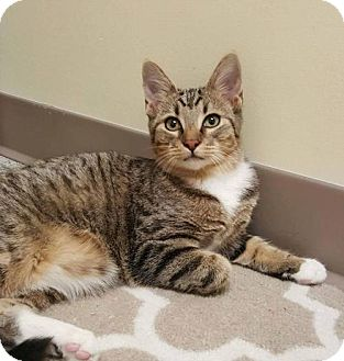 Domestic Shorthair Cat for adoption in Balto, Maryland - JoJo
