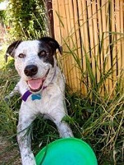Australian Cattle Dog/Pit Bull Terrier Mix Dog for adoption in Pt. Richmond, California - HERMES