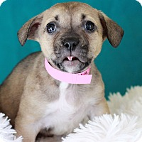 Adopt A Pet :: Zuma - Waldorf, MD