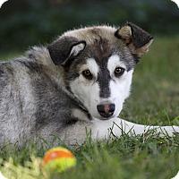 Adopt A Pet :: HANDEE - Ile-Perrot, QC