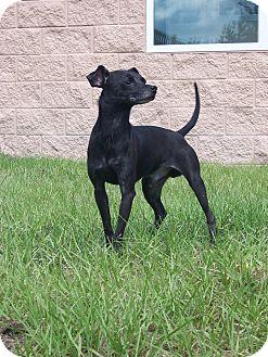Chihuahua/Rat Terrier Mix Dog for adoption in Myakka City, Florida - Max