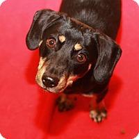 Adopt A Pet :: Graycie - Rossville, TN