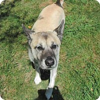 Akita Mix Dog for adoption in Plano, Texas - STELLA