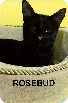 Domestic Shorthair Cat for adoption in Medway, Massachusetts - Rosebud