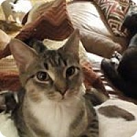 Domestic Shorthair Cat for adoption in Kohler, Wisconsin - Cheetah