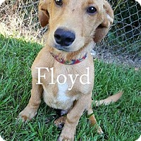 Adopt A Pet :: FLloyd - New Smyrna beach, FL