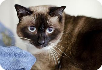 Siamese Cat for adoption in Chico, California - Annie