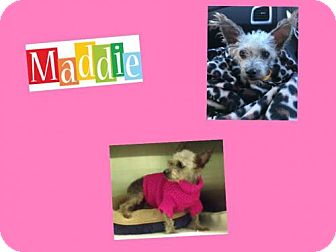Poodle (Miniature) Mix Dog for adoption in Plano, Texas - MADDIE