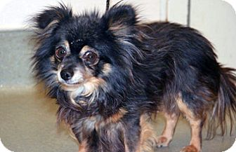 Chihuahua Mix Dog for adoption in Wildomar, California - Bentley