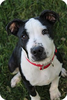 Border Collie/Pit Bull Terrier Mix Dog for adoption in Red Bluff, California - Maxx