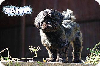 Havanese/Shih Tzu Mix Dog for adoption in Nixa, Missouri - Tank #462