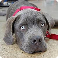 Adopt A Pet :: Daniel - West Los Angeles, CA