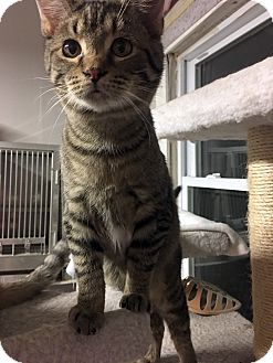 Domestic Shorthair Cat for adoption in Loogootee, Indiana - Dino