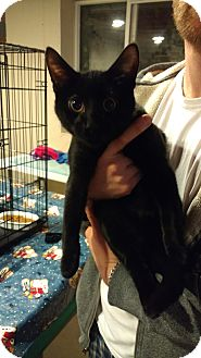 Domestic Shorthair Kitten for adoption in Ortonville, Michigan - Rafael