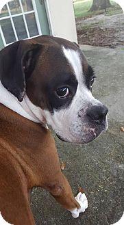 Boxer/Labrador Retriever Mix Dog for adoption in Plant City, Florida - Bear