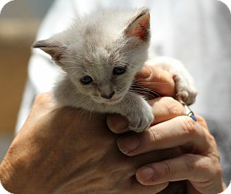 Siamese Kitten for adoption in Lighthouse Point, Florida - Troy