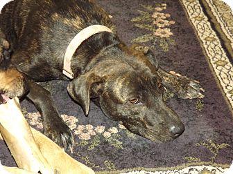 Australian Cattle Dog/Boxer Mix Dog for adoption in Phoenix, Arizona - Betsy