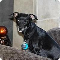Adopt A Pet :: Baby Doll Sabrina - Shawnee Mission, KS