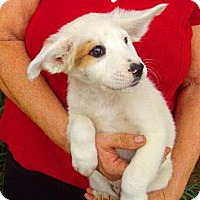 Adopt A Pet :: Border Collie X Puppies - Orlando, FL