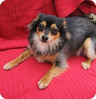 Chihuahua/Papillon Mix Dog for adoption in Tracy, California - Jenny