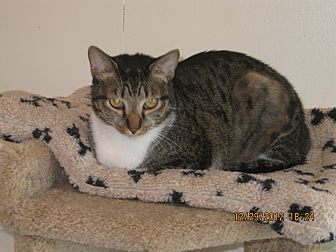 Domestic Shorthair Cat for adoption in Owenboro, Kentucky - ANNABELLE