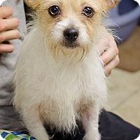 Adopt A Pet :: Layla - Sherman, CT