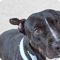 Adopt A Pet :: Daisy Mae - Houston, TX