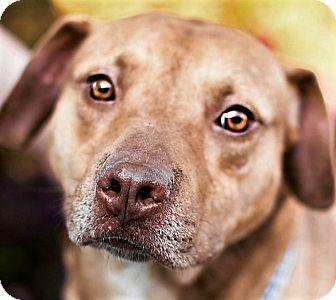 Labrador Retriever/American Staffordshire Terrier Mix Dog for adoption in Germantown, Maryland - Scherzo