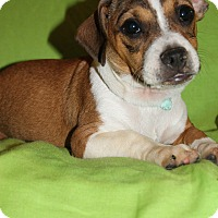 Pug/Dachshund Mix Puppy for adoption in Albany, New York - Pudding (HAS BEEN ADOPTED)