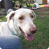 Labrador Retriever Mix Dog for adoption in Snow Hill, North Carolina - Chloe