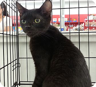 Domestic Shorthair Cat for adoption in Highland Park, New Jersey - Benson