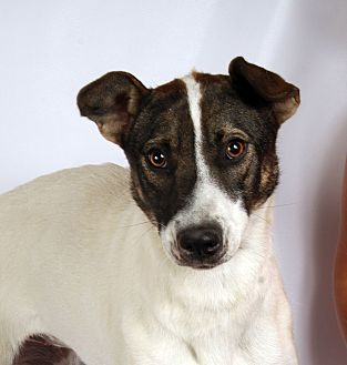 Australian Cattle Dog Mix Dog for adoption in St. Louis, Missouri - Heather Heeler
