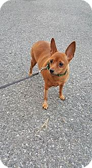 Miniature Pinscher Mix Dog for adoption in Whitehall, Pennsylvania - Pedro