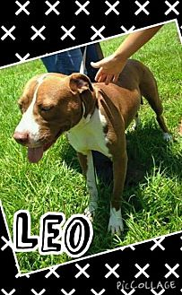 American Staffordshire Terrier Dog for adoption in Lake Placid, Florida - Leo
