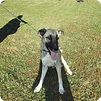 Anatolian Shepherd Dog for adoption in Quincy, Indiana - Rango