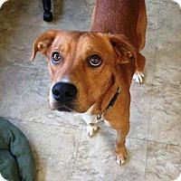Retriever (Unknown Type) Mix Dog for adoption in Chicago, Illinois - Dewey