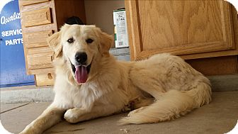 Kuvasz Dog for adoption in Scottsdale, Arizona - Diana