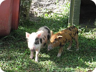 Pig (Potbellied) for adoption in Christmas, Florida - Gumball