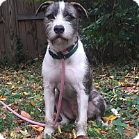Wirehaired Fox Terrier/Terrier (Unknown Type, Medium) Mix Dog for adoption in Norwalk, Connecticut - Cornelius